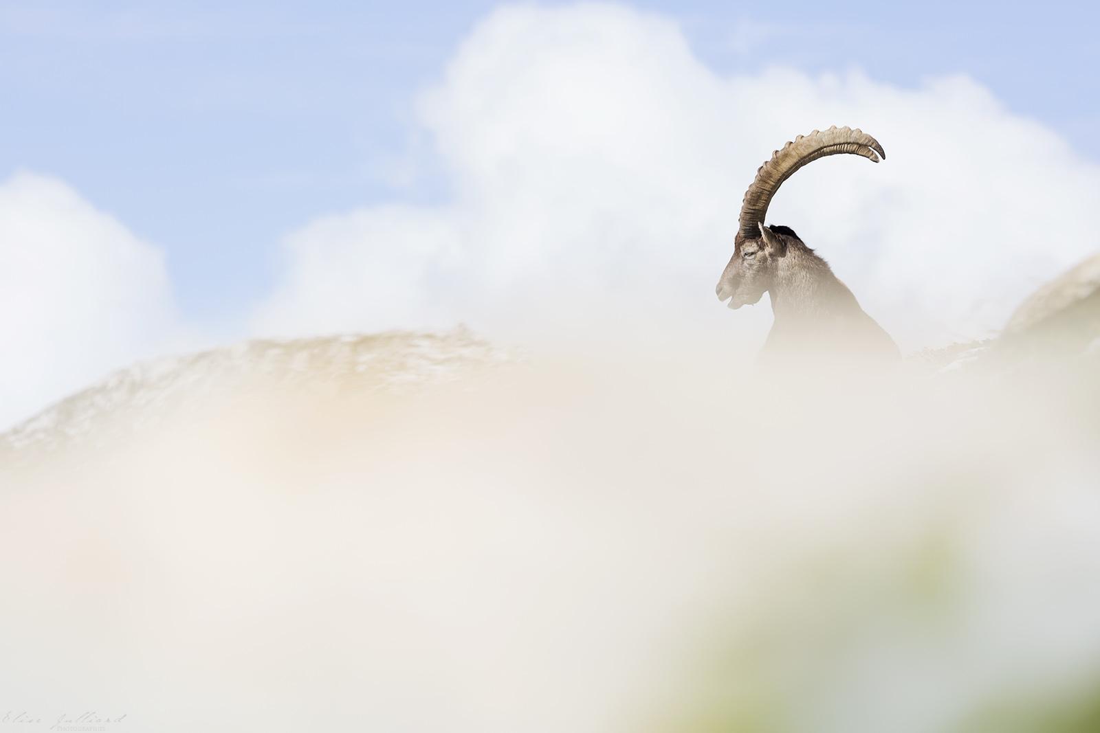 bouquetin-des-alpes-savoie-tarentaise-pralognan-la-vanoise-animal-montagne-neige-parc-national-elise-julliard-photographe-auvergne-rhone-alpes