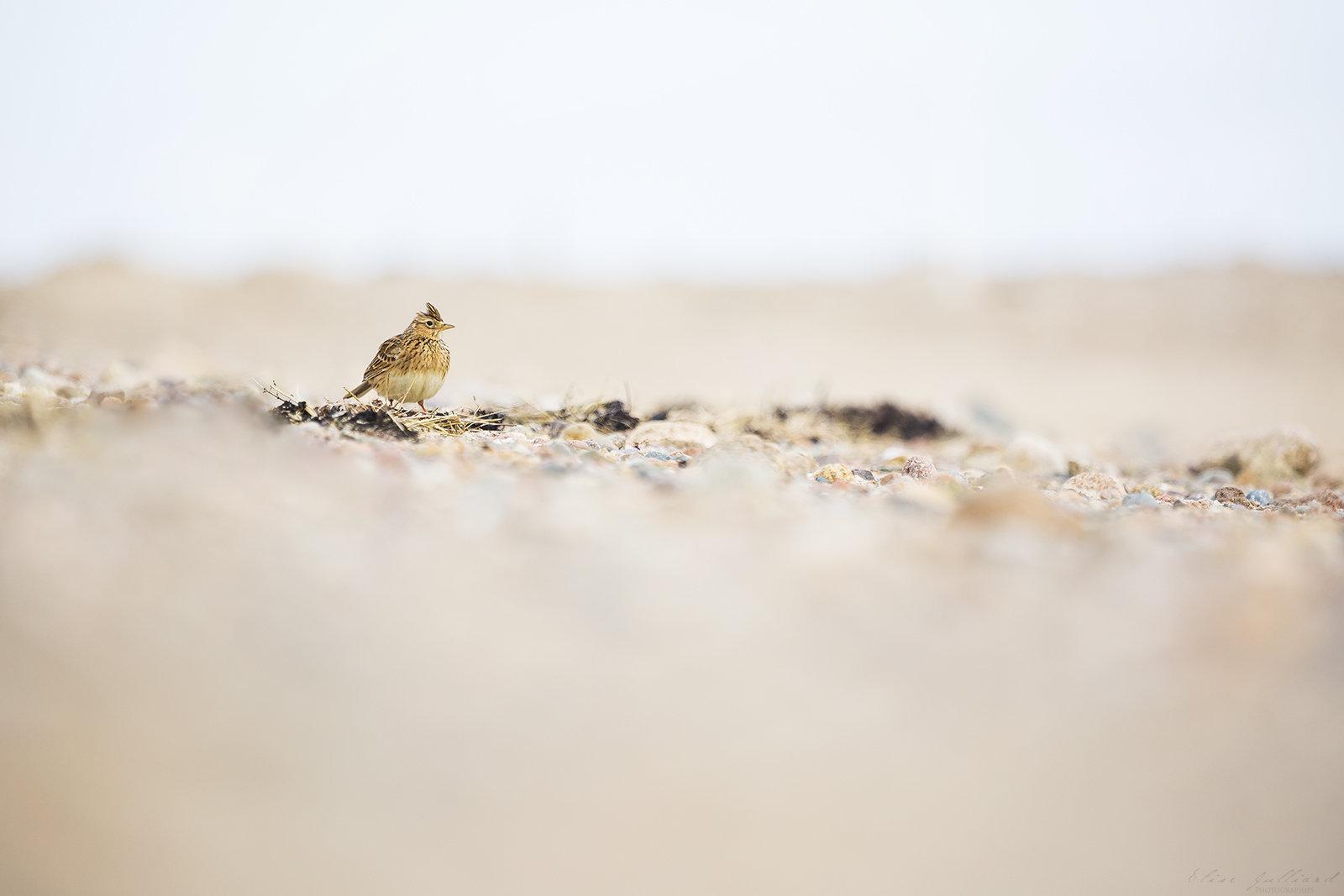 elise-julliard-animalier-oiseau-alouette-des-champs-lyon-bretagne-sillon-talbert