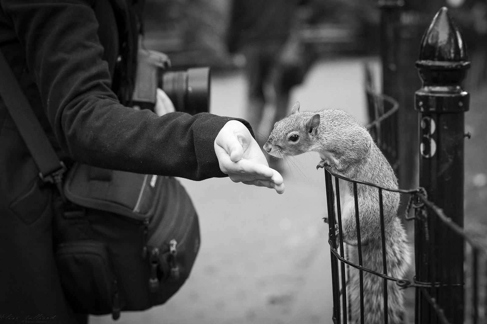 elise-julliard-photographe-ecureuil-gris-squirrel-madison-square-new-york-etats-unis