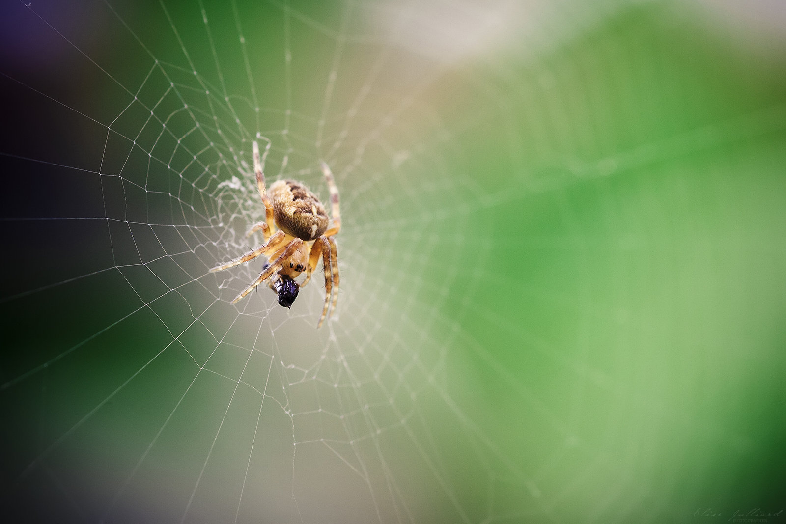 elise-julliard-photographe-lyon-photo-macro-araignee-epeire-diademe