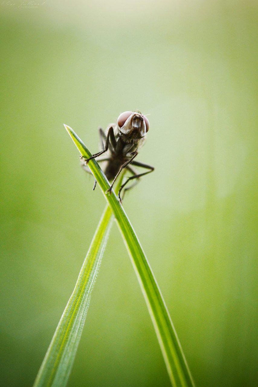 elise-julliard-photographe-lyon-photo-macro-drosophile-mouche