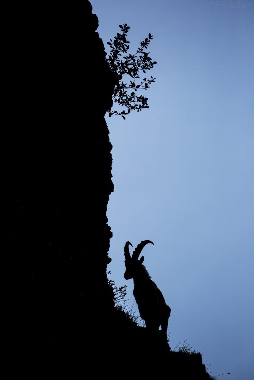 elise-julliard-photographe-lyon-rhone-alpes-animalier-bouquetin-des-alpes-bargy-haute-savoie