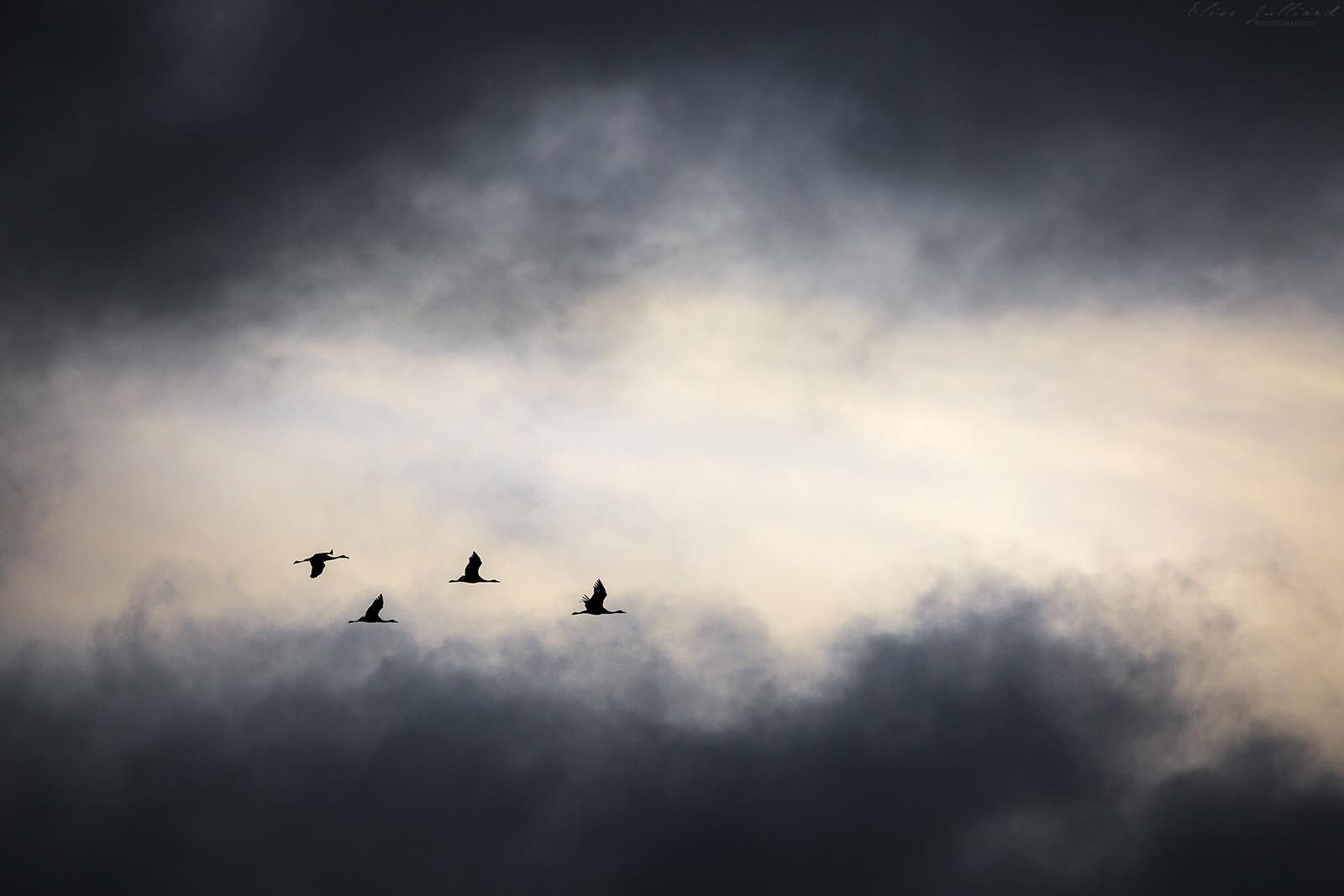 elise-julliard-photographe-lyon-rhone-alpes-photo-oiseaux-grues-cendrees-nuage-champagne-ardenne-montier-en-der