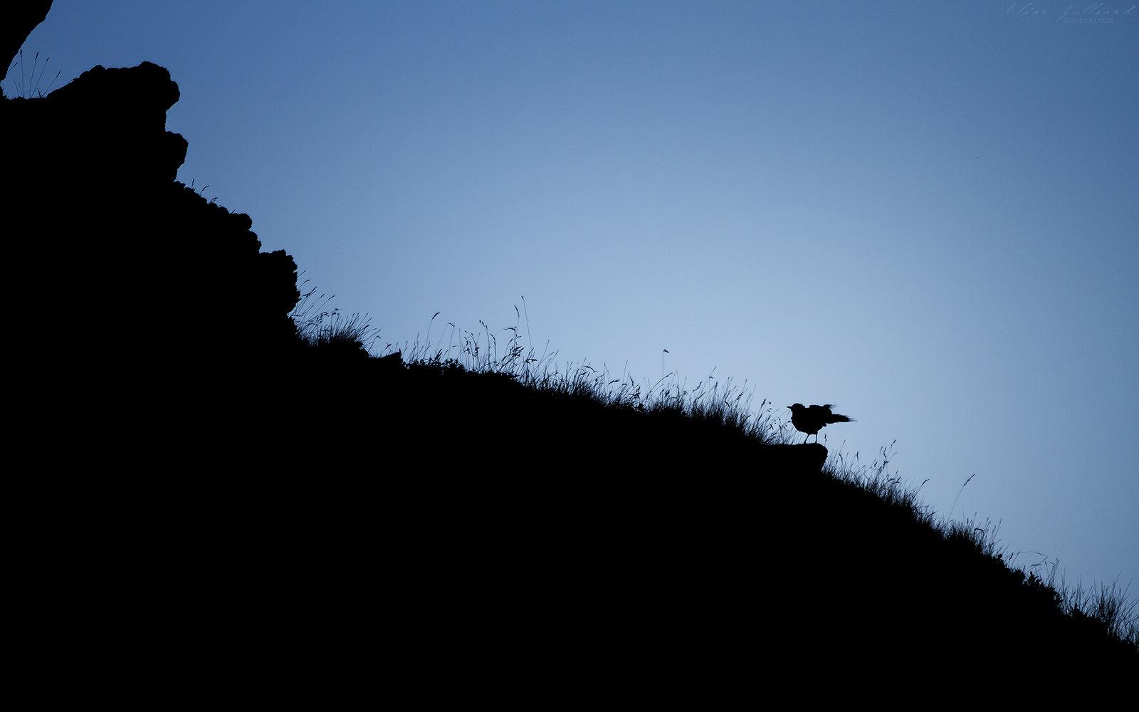 elise-julliard-photographe-oiseau-merle-a-plastron-savoie-haute-maurienne