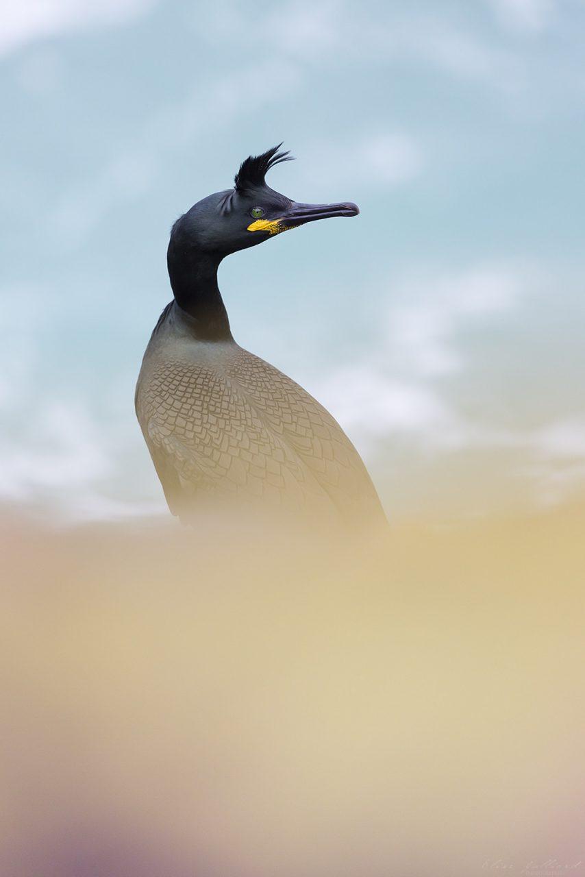 elise-julliard-photographe-oiseaux-animalier-cormoran-huppe-bretagne-cote-darmor-mer-wildlife-sauvage-plumage-nuptial