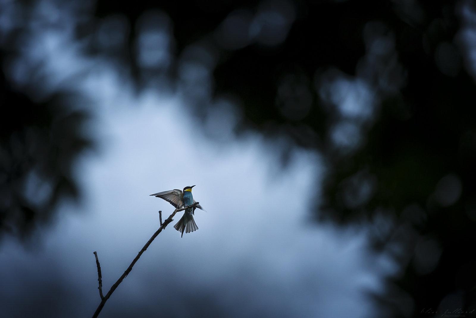 elise-julliard-photographe-oiseaux-animalier-guepiers-europe-lyon-miribel-jonage-rhone-alpes-2