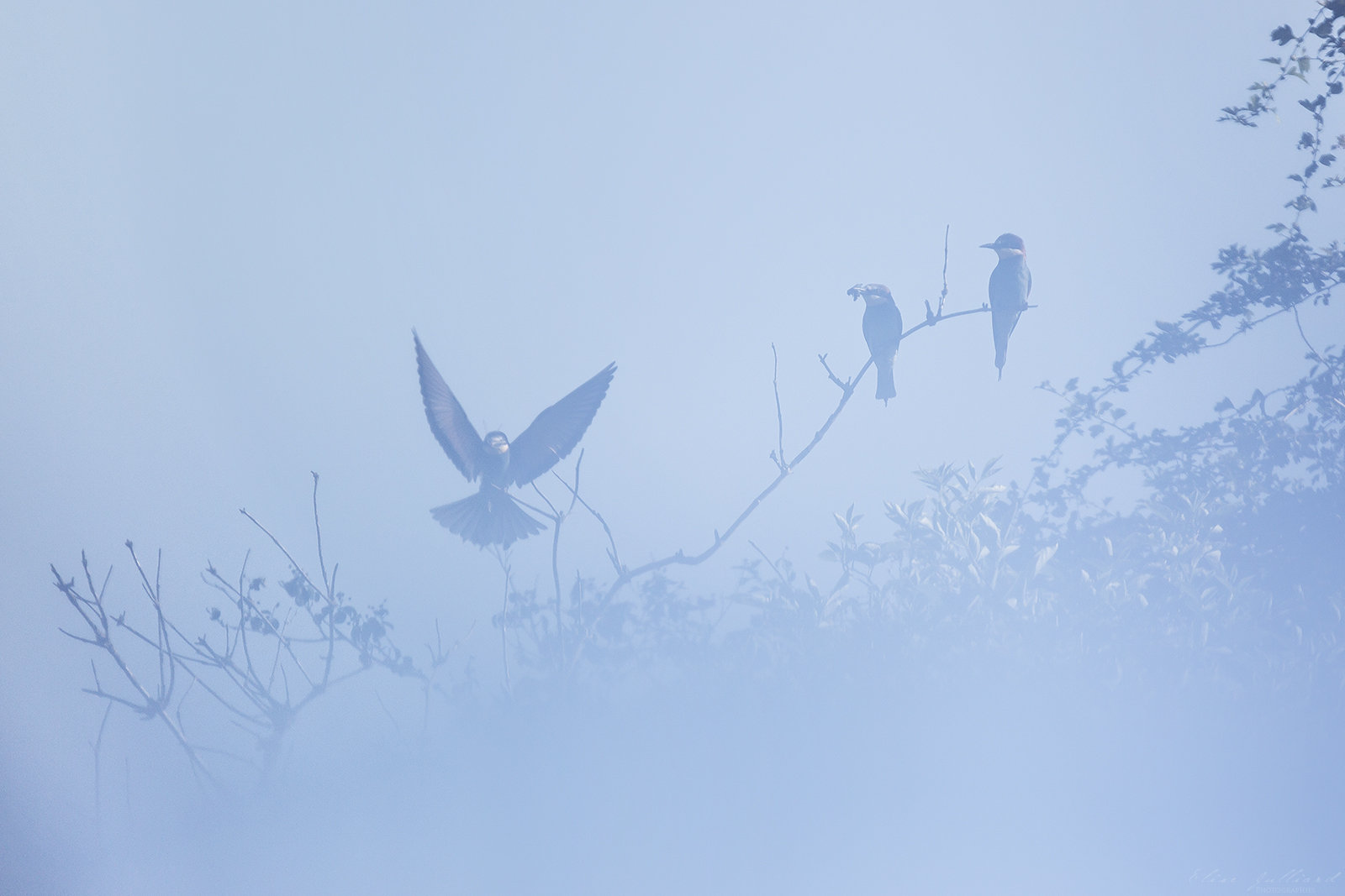 elise-julliard-photographe-oiseaux-animalier-guepiers-europe-lyon-miribel-jonage-rhone-alpes