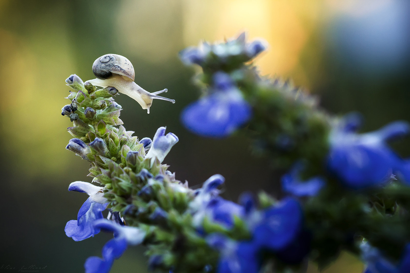 elise-julliard-photographe-photo-escargot-gasteropode-sur-fleurs-lyon