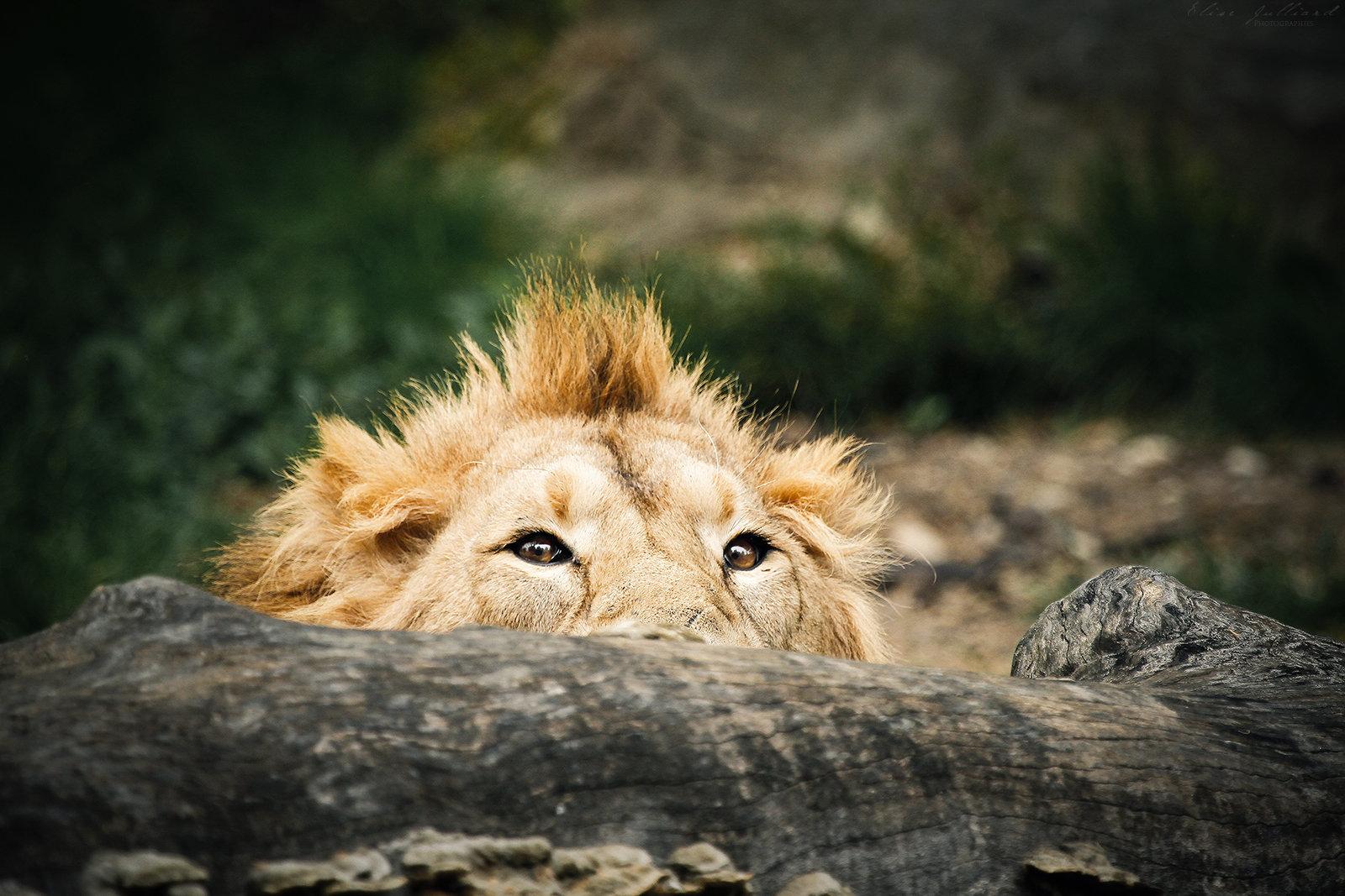 elise-julliard-photographe-photo-lion-asie-parc-de-la-tete-dor-lyon-captivite