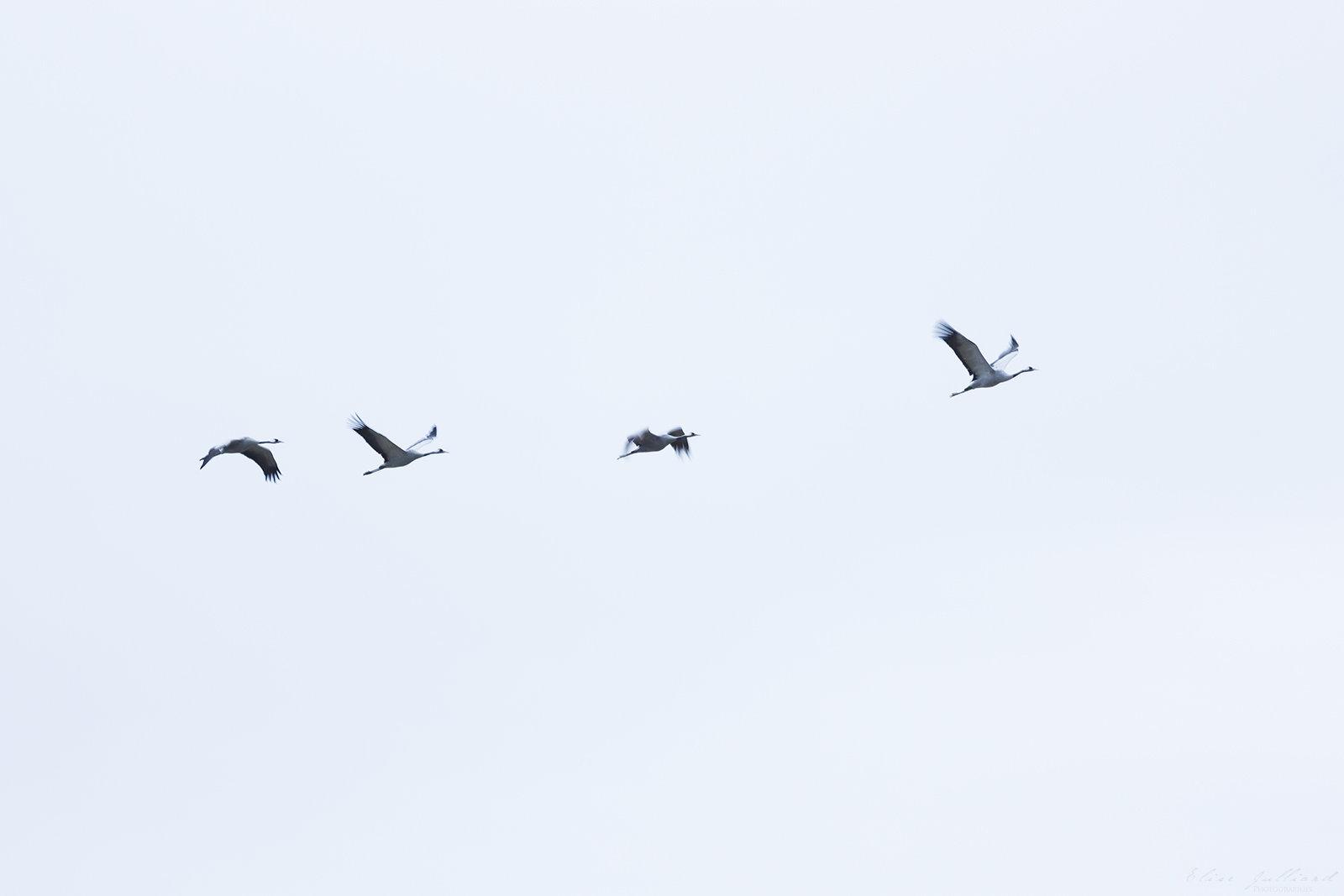 elise-julliard-photographe-photo-oiseaux-grues-cendrees-lac-de-montier-en-der-champagne-ardenne
