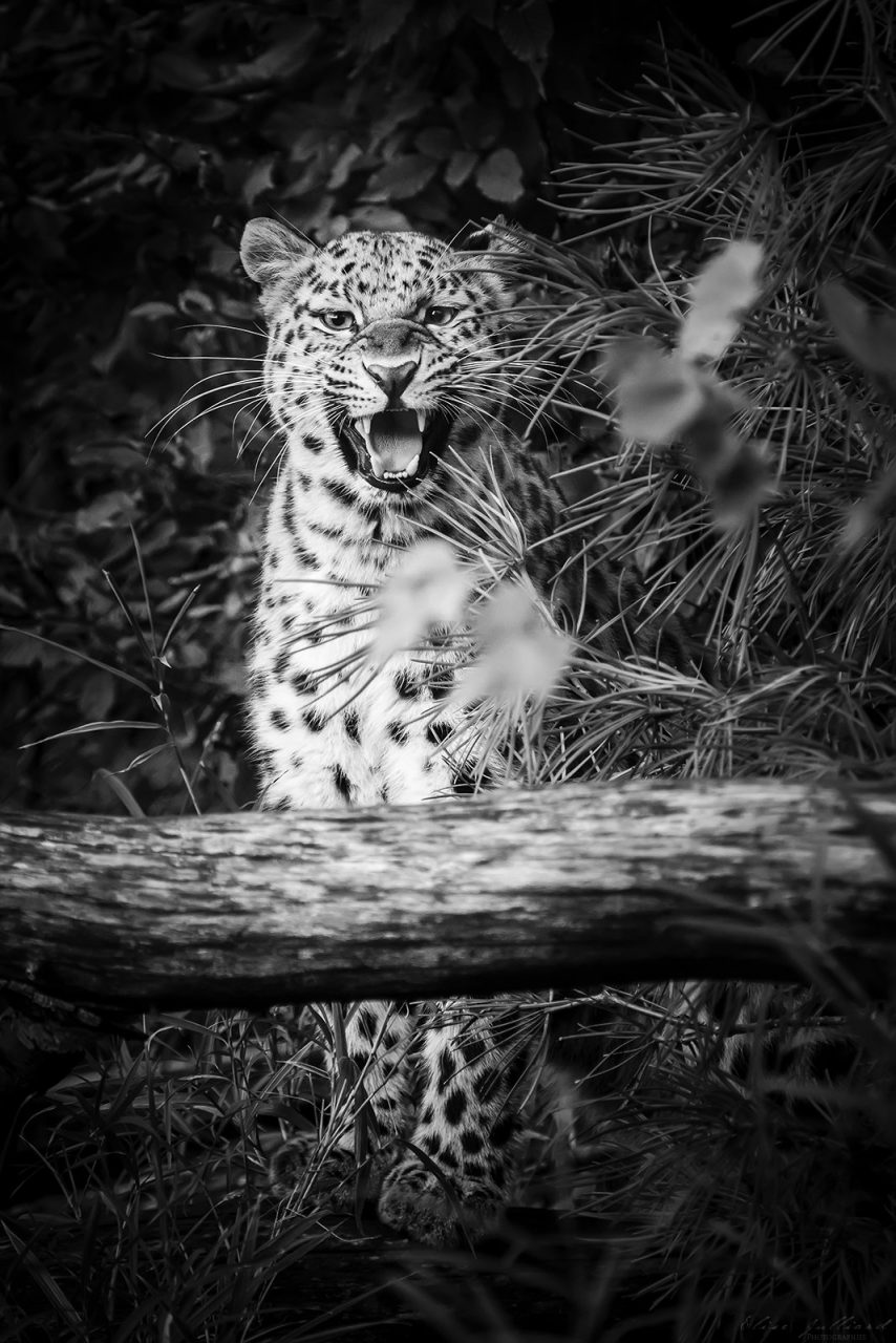 elise-julliard-photographe-photo-panthere-leopard-de-chine-lyon-parc