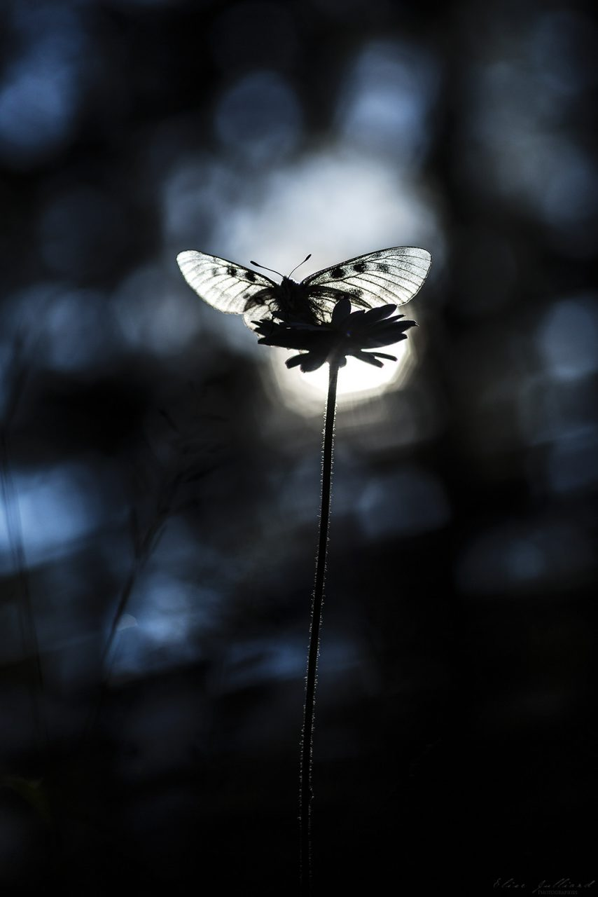 elise-julliard-photographe-rhone-alpes-lyon-photo-macro-papillon-grand-apollon-savoie-vanoise-animal-animaux-insecte-montagne