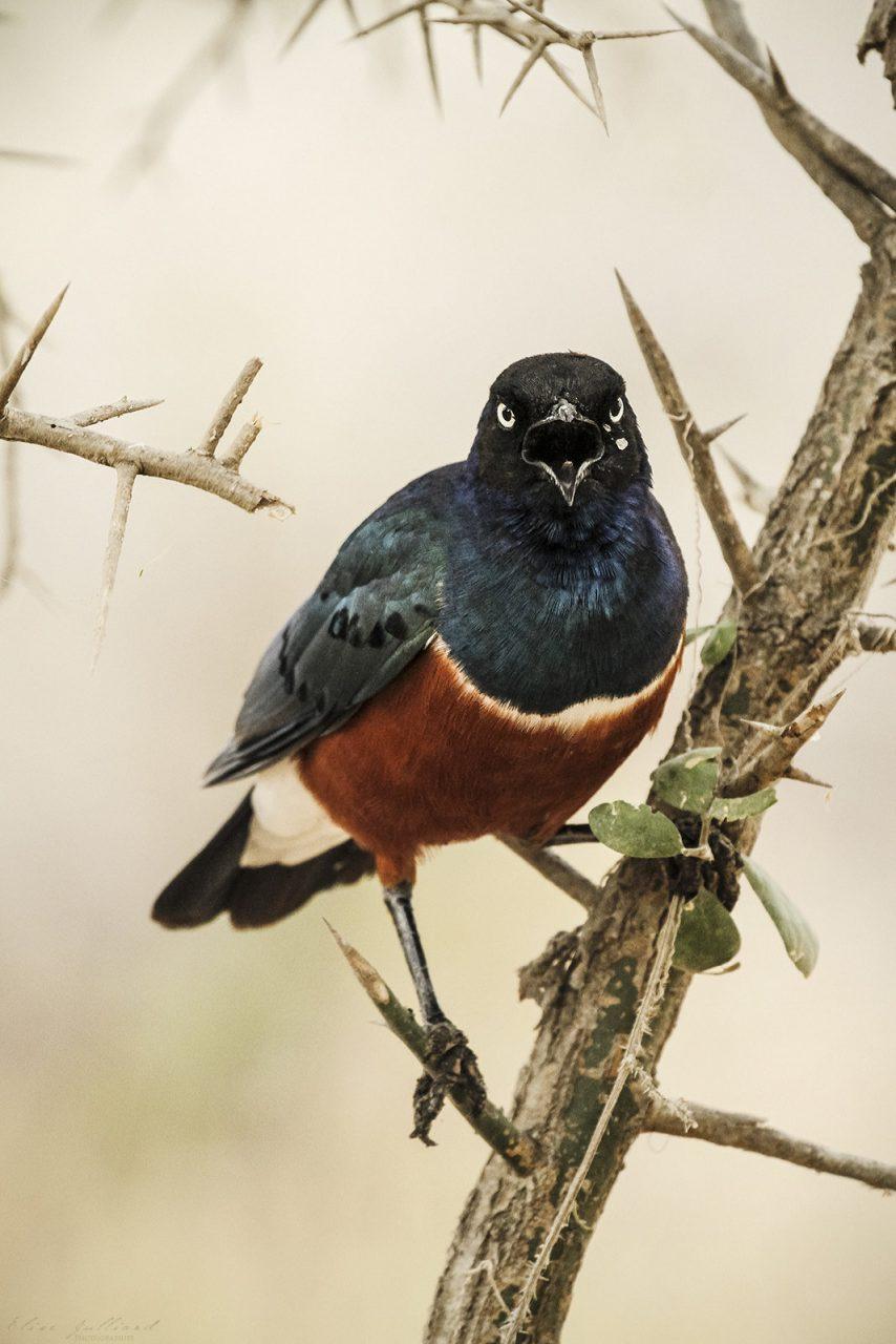 elise-julliard-photographe-tanzanie-choucador-superbe-tarangire-national-park-afrique