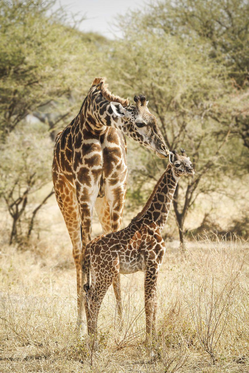 elise-julliard-photographe-tanzanie-girafe-girafon-serengeti-national-park-afrique