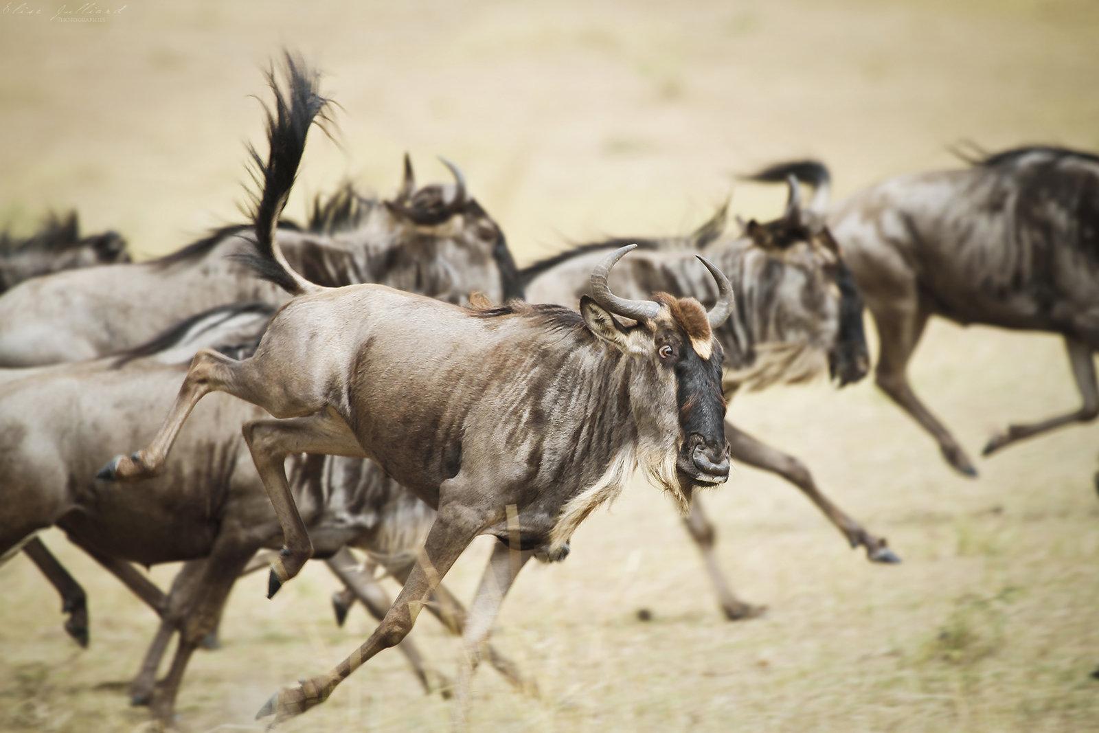 elise-julliard-photographe-tanzanie-grande-migration-gnous-serengeti-national-park-afrique