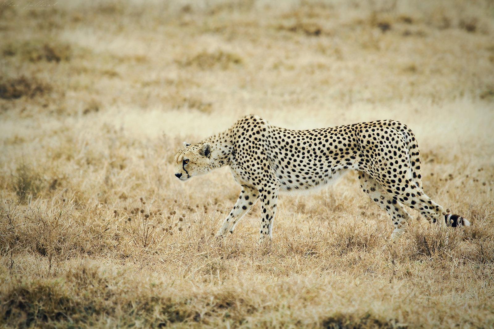 elise-julliard-photographe-tanzanie-guepard-cratere-du-ngorongoro-afrique