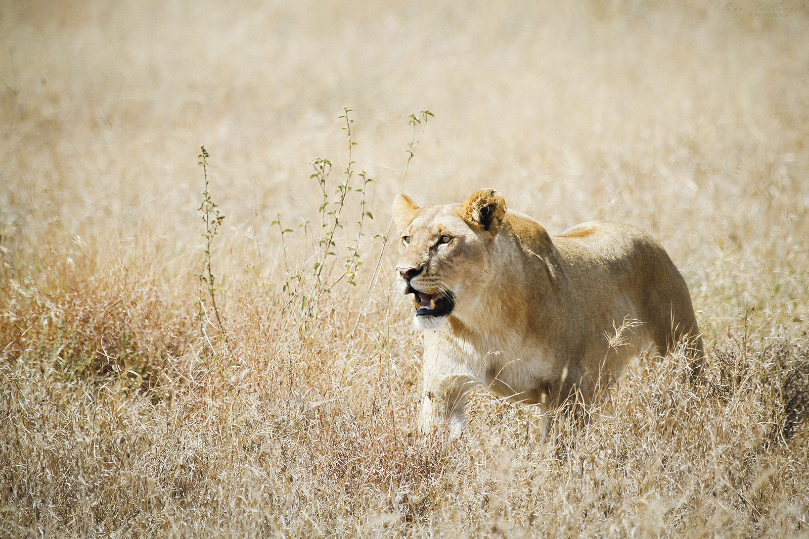 elise-julliard-photographe-tanzanie-lion-lionne-serengeti-national-park-afrique