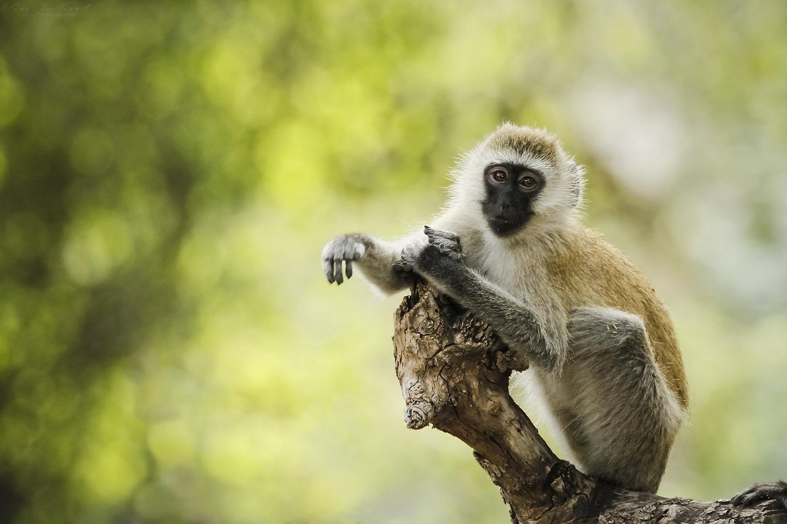 elise-julliard-photographe-tanzanie-singe-vervet-lac-natron-afrique