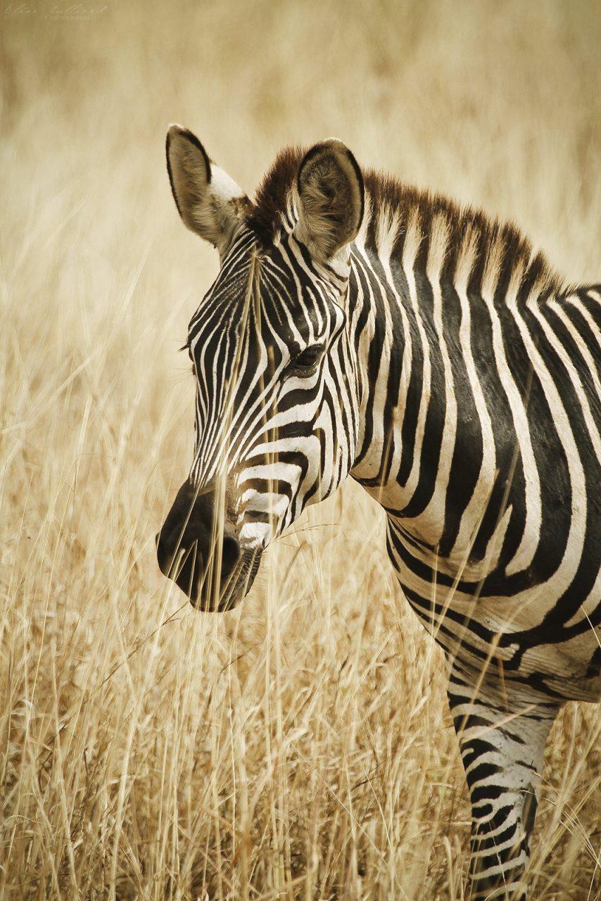 elise-julliard-photographe-tanzanie-zebre-de-burchell-tarangire-national-park-afrique