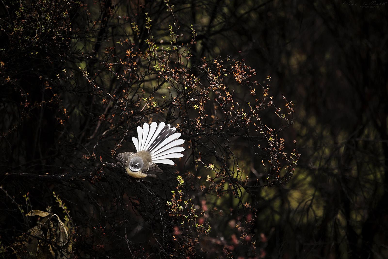 voyage-nouvelle-zelande-new-zealand-travel-south-island-queenstown-bird-animal-oiseau-animal-aotearoa-fantail-rhipidure-à-collier-eventail