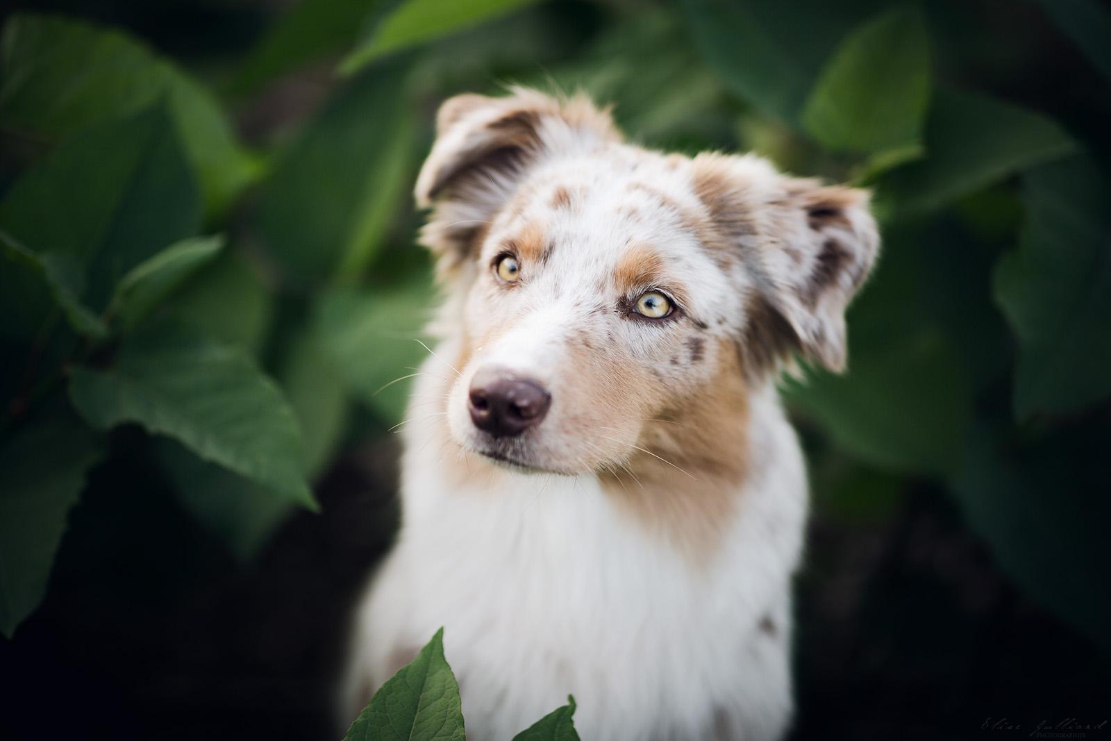 seance-photo-animaux-animal-chien-berger-australien-lyon-auvergne-rhone-alpes-canin-canine-portrait-photographe-animalier-elise-julliard-14